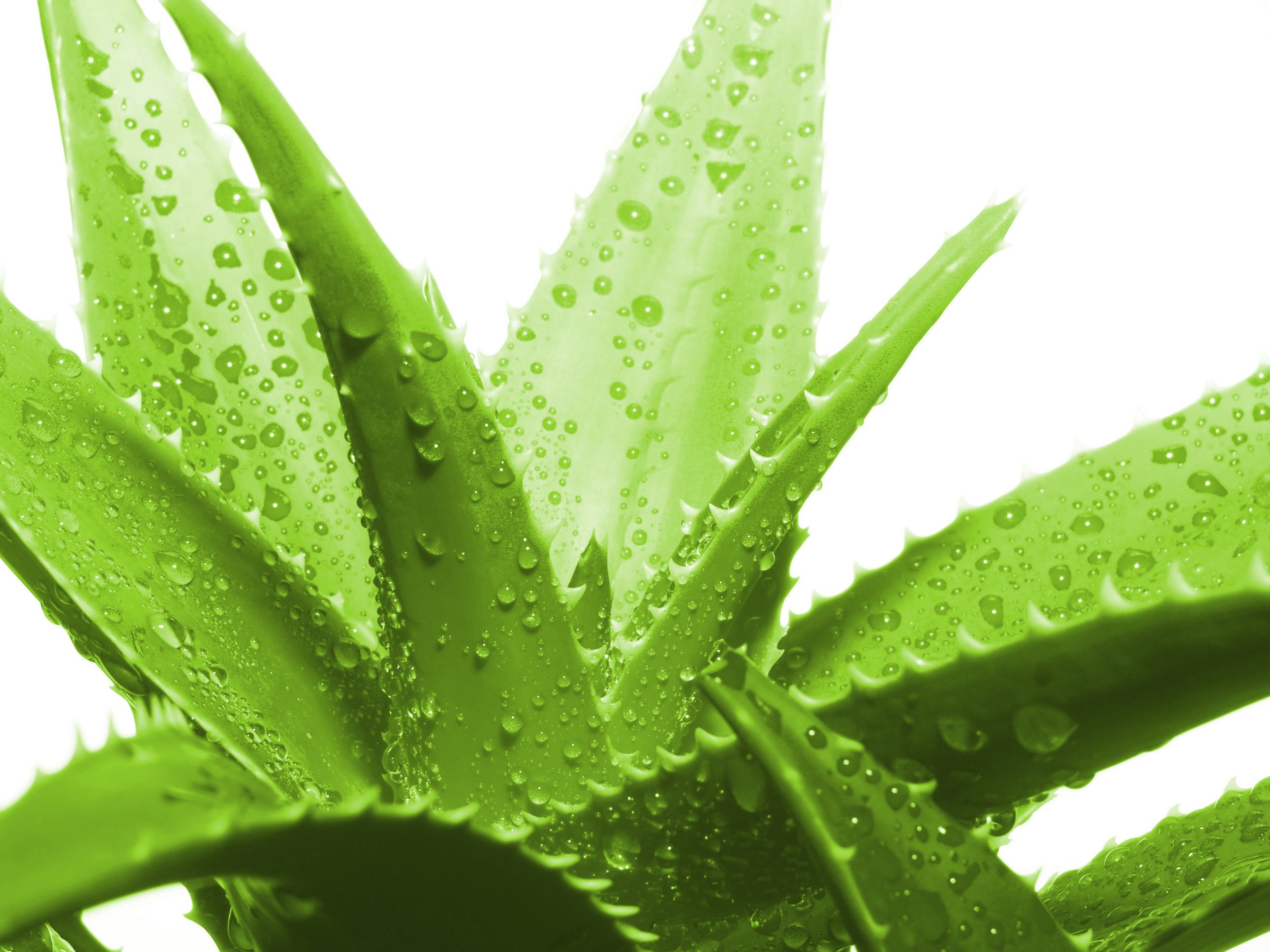 Aloe vera and its benefits  AYURVEDA