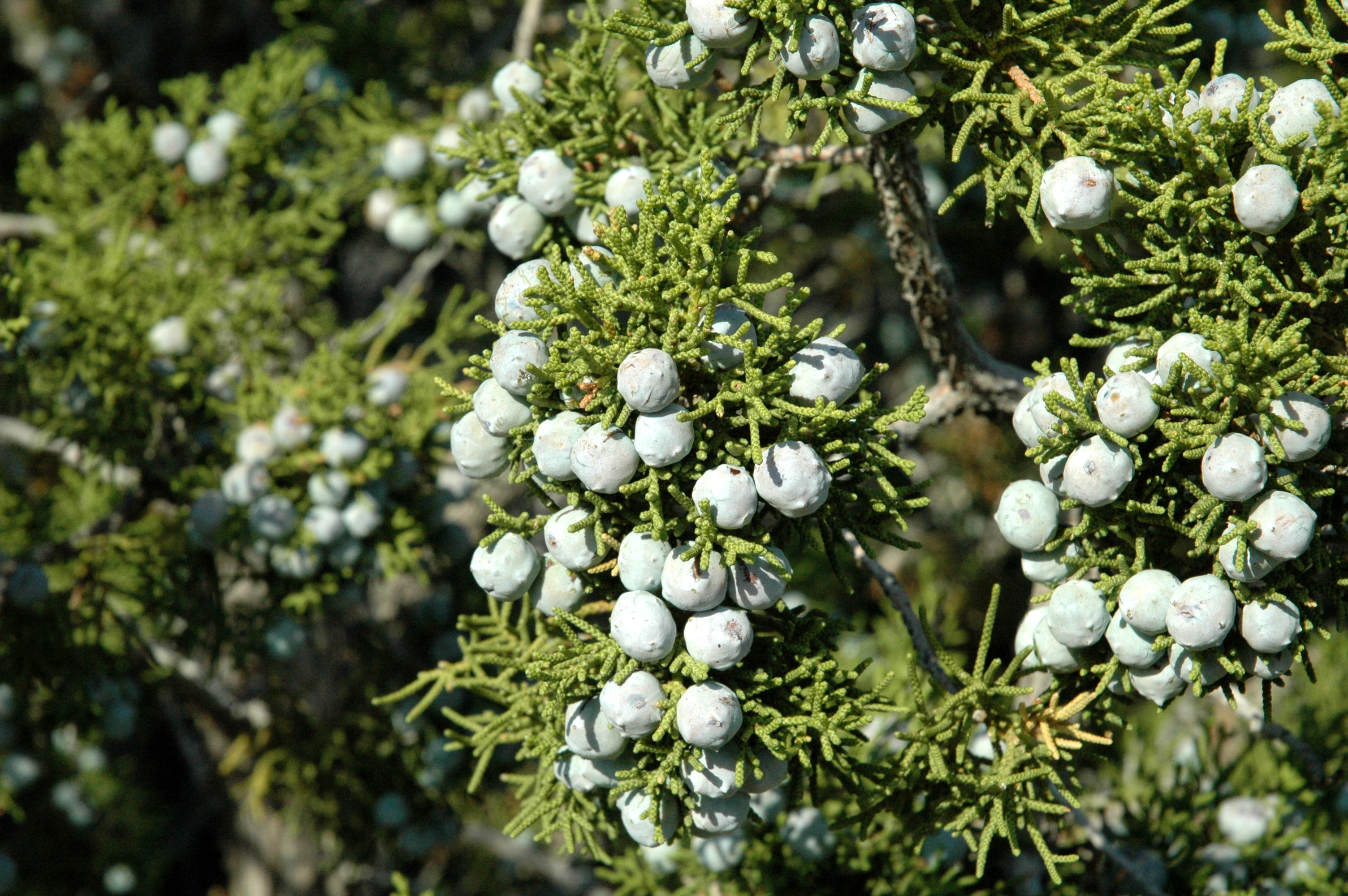 Juniper is one of the oldest remedies for digestive ailments for The juniper