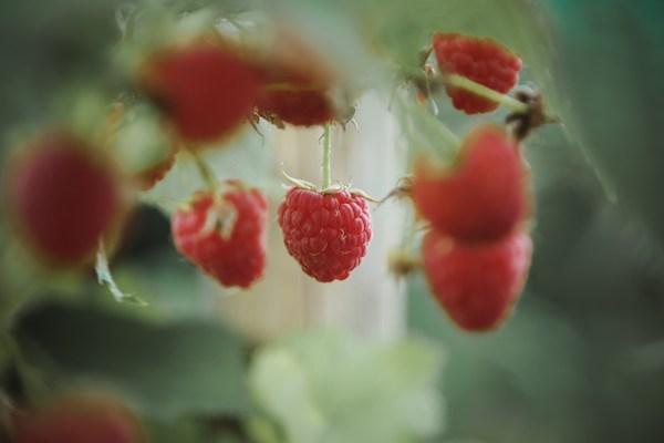 raspberry supplements benefits