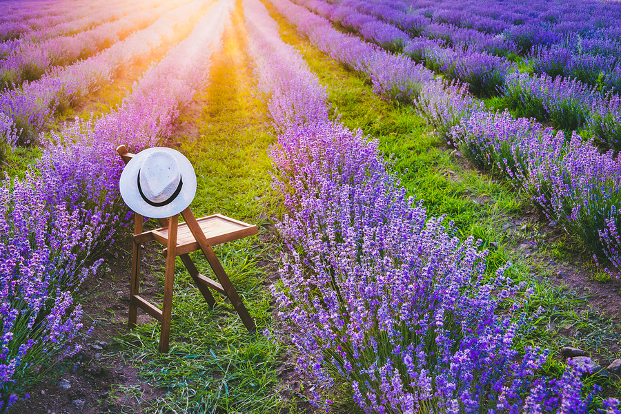 Lavender For The Senses And The Body